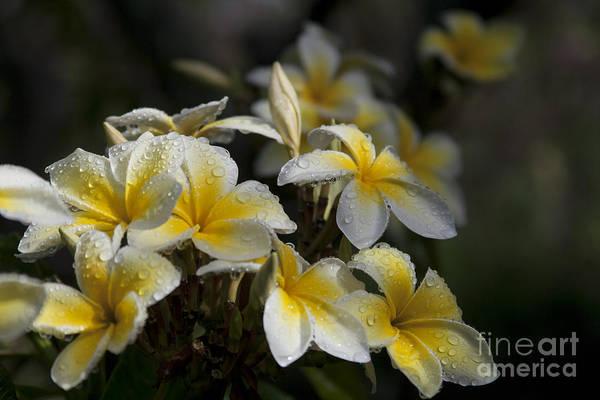 Melia Photograph - Na Lei Pua Melia - Morning Whispers by Sharon Mau