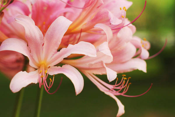Surprise Lily Photograph - Naked Ladies, Surprise Lily by Shaina Lenz