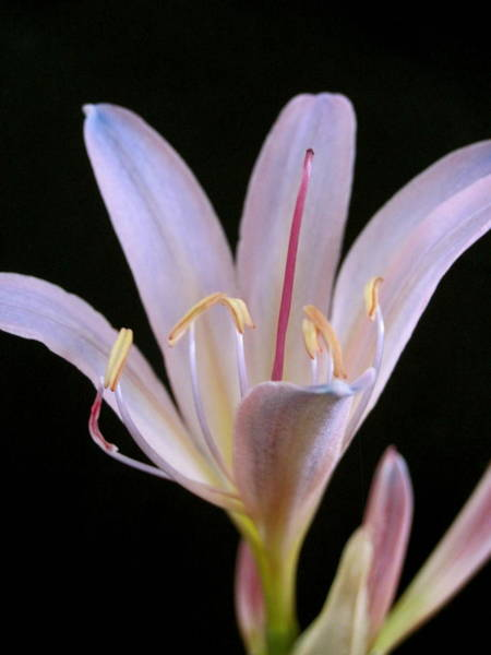 Surprise Lily Photograph - Naked Lady by Bruce McEntyre