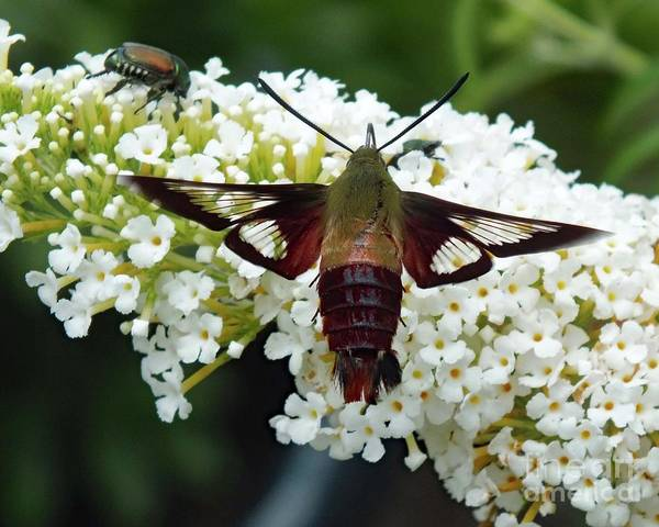 Clearwing Moth Photograph - Names Sake - Clearwing Hummingbird Moth by Cindy Treger