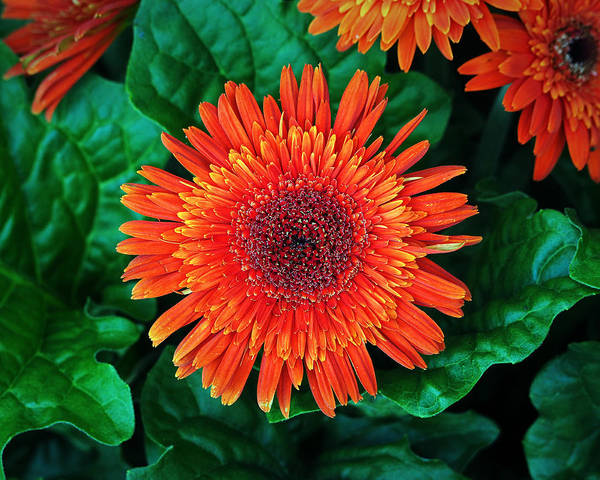 Photograph - Nancy's Gerbera Daisy Orange On Green by Bill Swartwout Photography