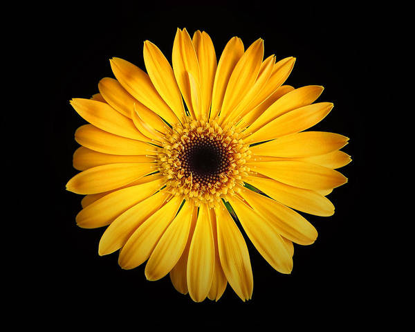 Photograph - Nancy's Gerbera Daisy Yellow On Black by Bill Swartwout Photography