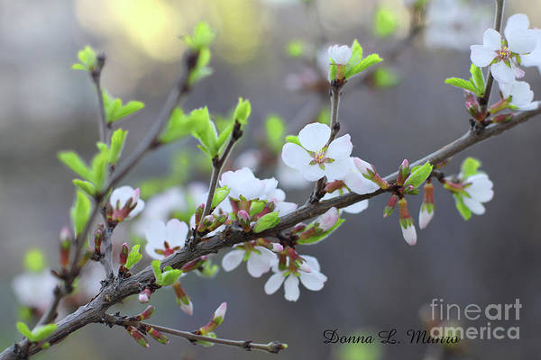 Photograph - Nanking Cherry Blossoms by Donna L Munro