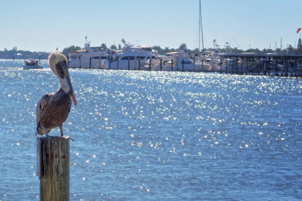 Photograph - Naples Pelican by Lars Lentz