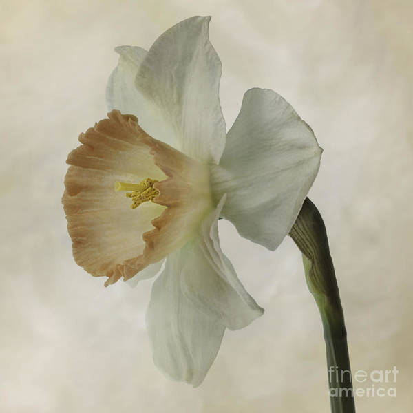 Photograph - Narcissus 'precocius by Ann Jacobson