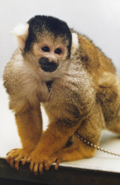 Photograph - Nasa Monkey, 1985 by Granger