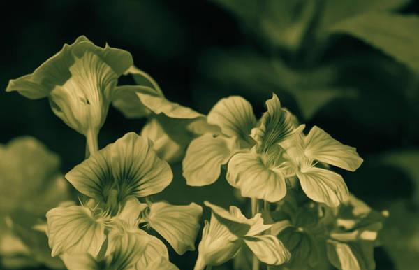 Photograph - Nasturtium Black And White by Keith Smith