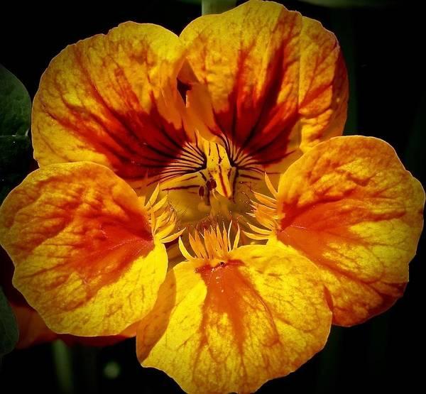 Photograph - Nasturtium Bloom by Lynda Anne Williams