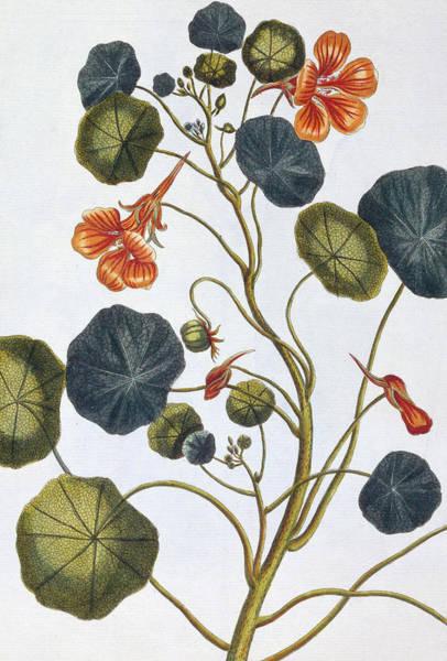 Nasturtiums Wall Art - Painting - Nasturtium by Pierre-Joseph Buchoz