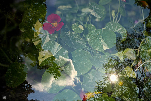Photograph - Nasturtiums And Sky by John Meader