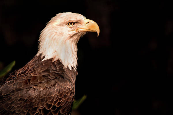 Photograph - National Bird by Don Johnson