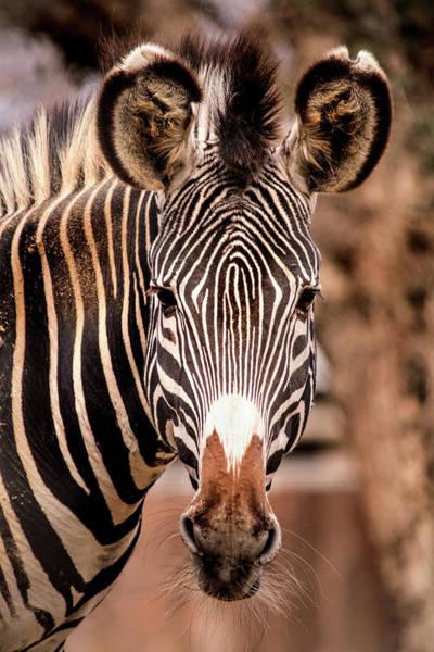 Photograph - National Zoo Zebra by Don Johnson
