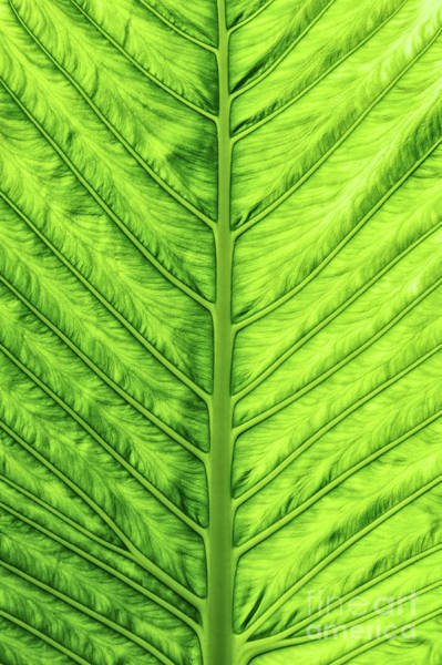 Wall Art - Photograph - Cunjevoi Lily Leaf by Tim Gainey