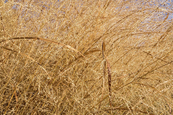 Photograph - Natural Abstracts - Elaborate Shapes And Patterns In The Golden Grass by Georgia Mizuleva