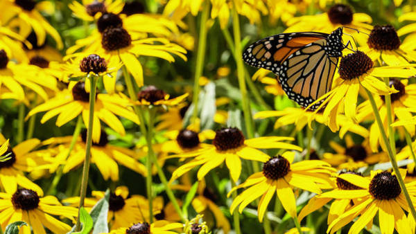 Monarch Butterfly On Yellow Flowers Art Print