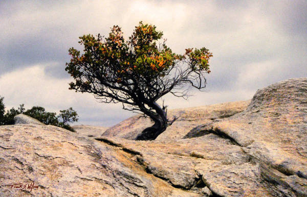 Photograph - Natural Bonsai by Frank Wilson