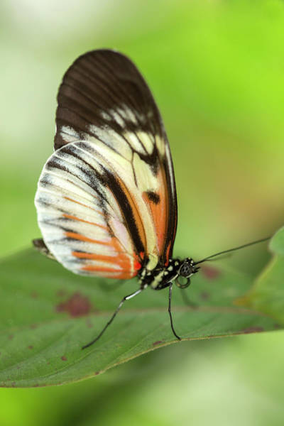 Wall Art - Photograph - Piano Key Butterfly by Iris Richardson
