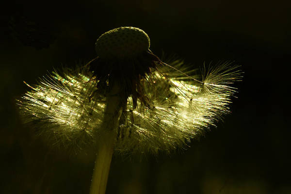Dandelion Puff Photograph - Natural Gold by Barbara  White