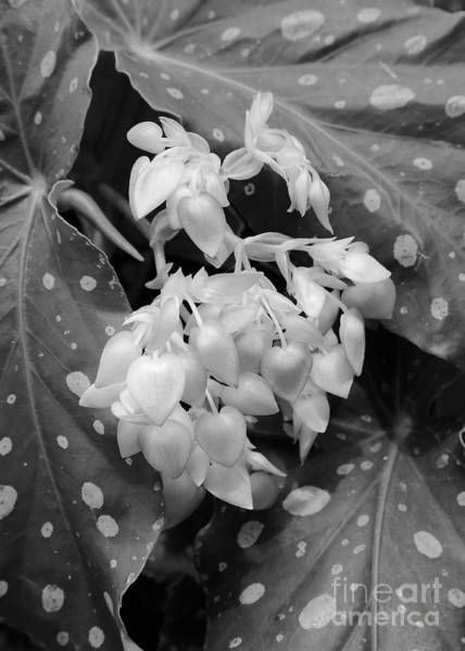 Photograph - Nature Black And White - Angel Wing Begonia by Carol Groenen