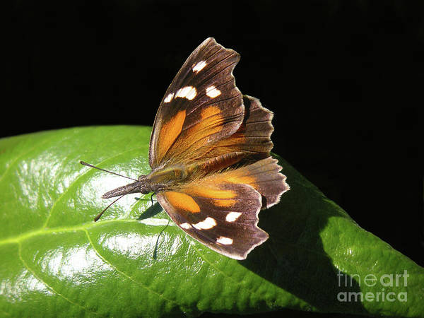 Snout Butterfly Photograph - Nature In The Wild - Just Snouting Around by Lucyna A M Green