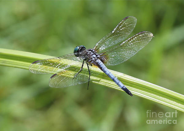 Blue Dragonfly Photograph - Nature Macro - Blue Dragonfly by Carol Groenen