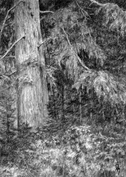 Evergreen Trees Drawing - Nature Study No 1 by David King