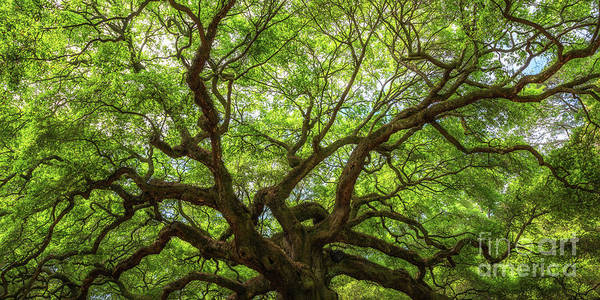 Wall Art - Photograph - Natures Canopy Panorama  by Michael Ver Sprill