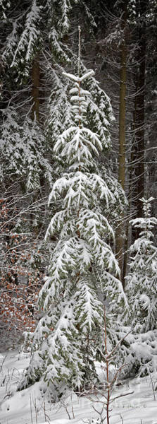 Wall Art - Photograph - Natures Christmas Tree Covered With Snow by John Stephens