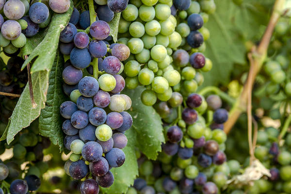 Photograph - Natures Colors In Wine Grapes by Teri Virbickis
