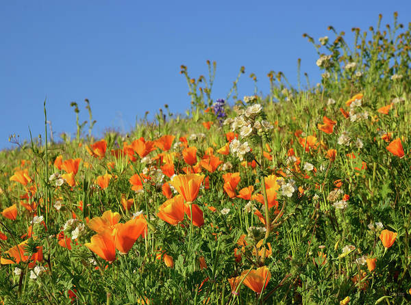 Cinquefoil Photograph - Nature's Garden Of Golden Poppies by Kathy Yates