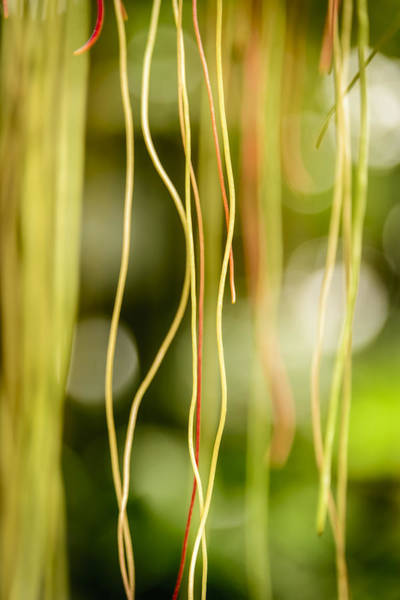Photograph - Nature's Strings by Robert Mitchell