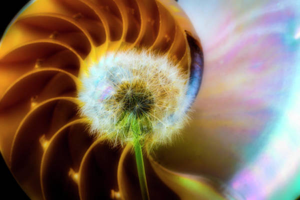 Dandelion Puff Photograph - Nautilus Shell And Dandelion  by Garry Gay