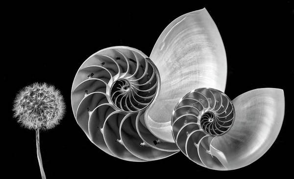 Dandelion Puff Photograph - Nautilus Shells And Dandelion In Black And White by Garry Gay