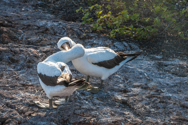 Photograph - Nazca Or Masked Boobies In Courtship  Genovesa Island Galapagos Islands by NaturesPix