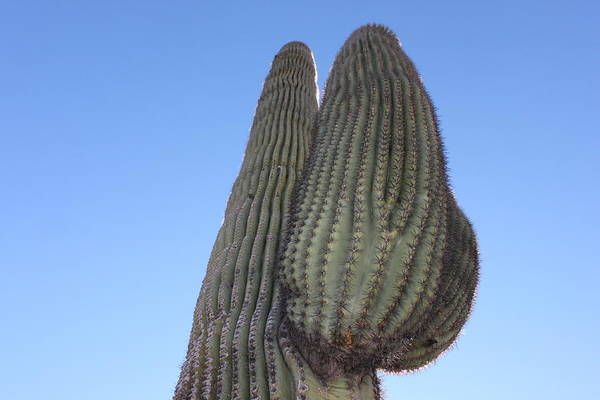 Photograph - Wickenburg Saguaro  by Antonio Romero