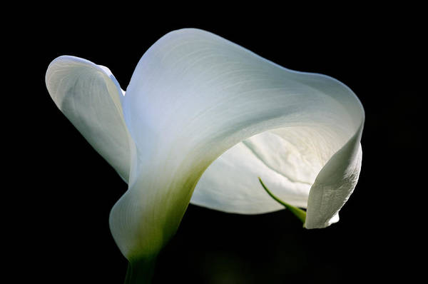 Calla Photograph - Nearly Unfurled by Don Schroder