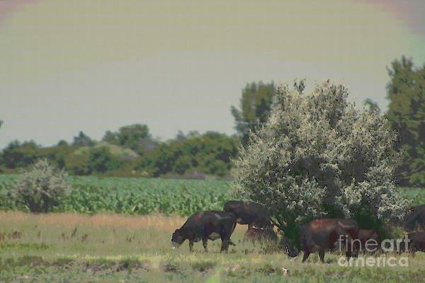 Photograph - Nebraska Farm Life - Black Cows Grazing by Colleen Cornelius