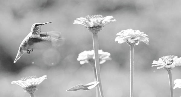 Wall Art - Photograph - Nectar Black And White by Steve McKinzie