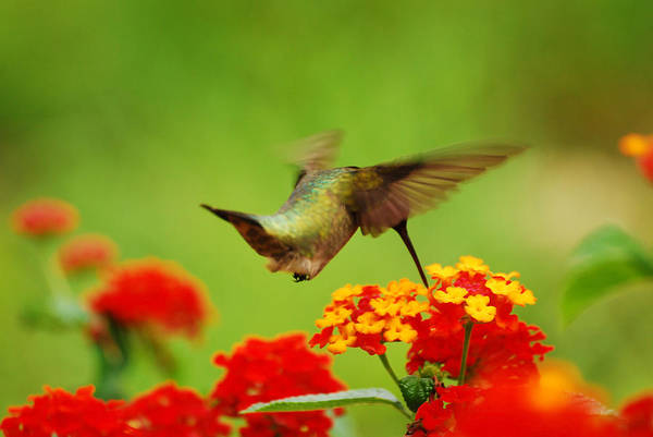 Photograph - Nectar Break by Lori Tambakis