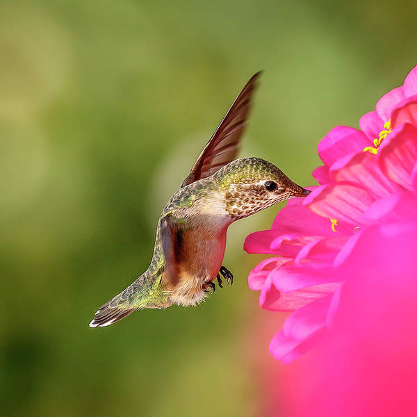 Photograph - Nectar Hunter by Wes and Dotty Weber