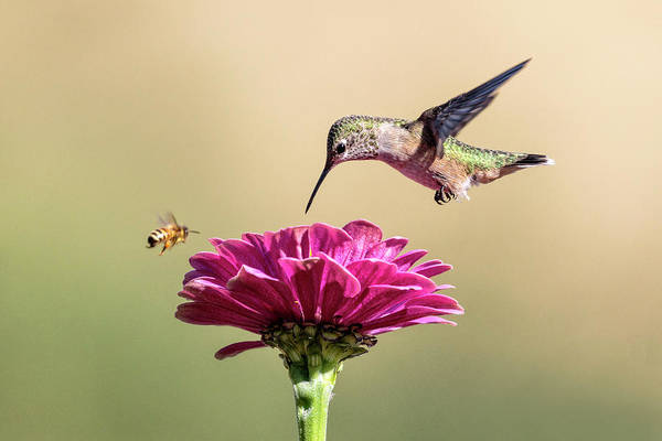 Photograph - Nectar Race by Wes and Dotty Weber