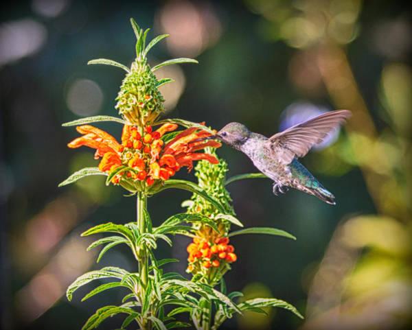 Photograph - Nectaring by AJ Schibig