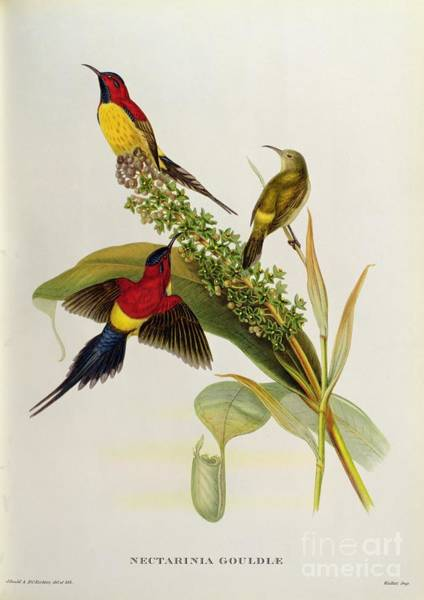 Ornithological Wall Art - Painting - Nectarinia Gouldae by John Gould