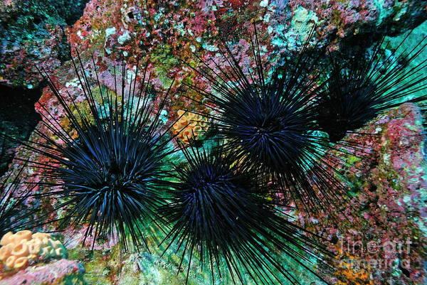 Wall Art - Photograph - Needle Sea Urchin by Sami Sarkis