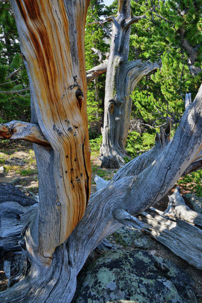 Photograph - Neighboring Bristlecone Pines On Mt. Goliath by Ray Mathis