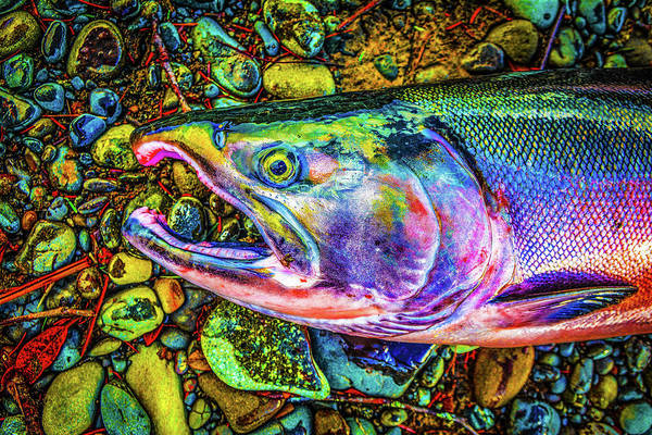 Photograph - Neon Coho  by Jason Brooks