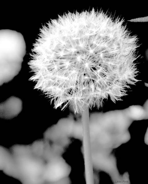 Photograph - Neon White Dandolion by Lesa Fine