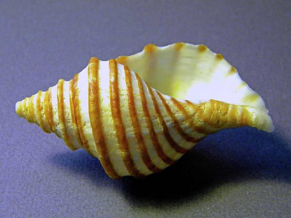 Photograph - Neptune Whelk Seashell by Frank Wilson