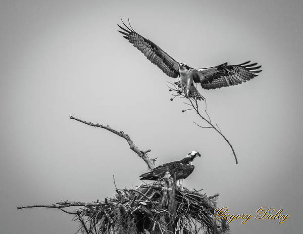 Photograph - Nest Building 2m by Gregory Daley  MPSA