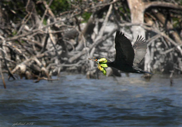 Double Crested Cormorant Photograph - Nest Building Flaps Up by Joseph G Holland